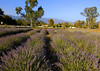 Lavender Field Ojai Valley  Color of Ojai   , Light &amp; Spirit