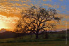 Oak Tree at Sunset Ojai Valley  Color of Ojai   , Light &amp; Spirit